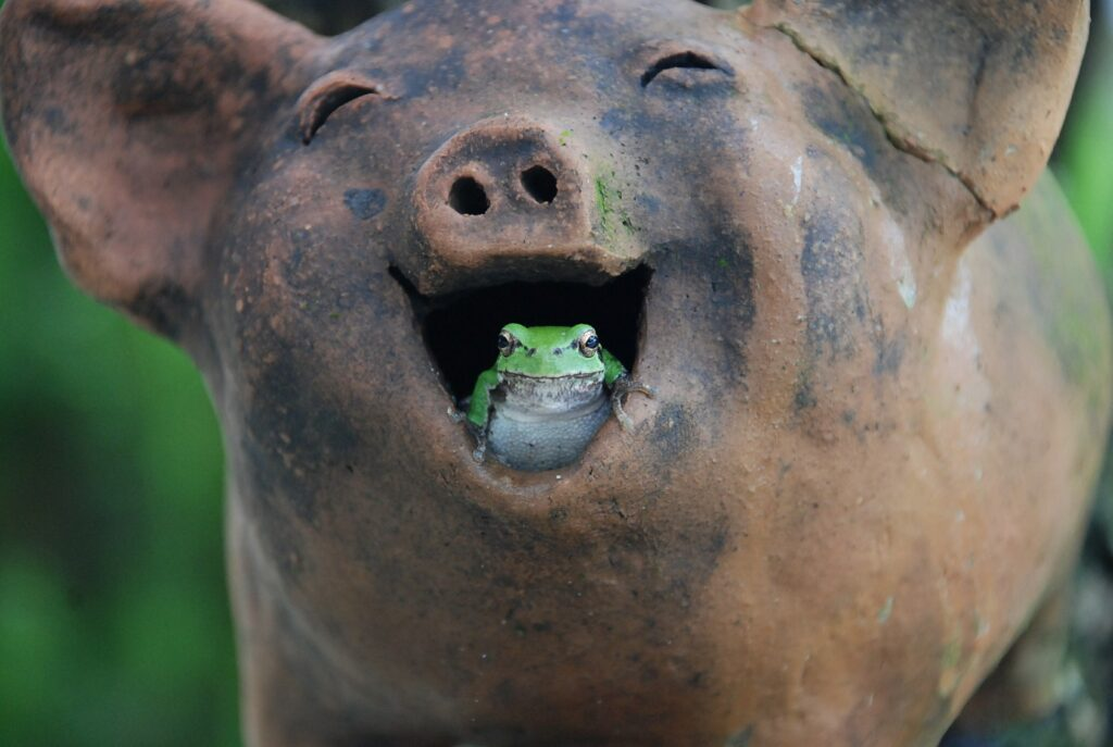 pig-laughter